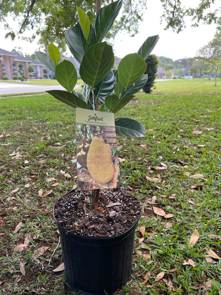 Jack-fruit Plant